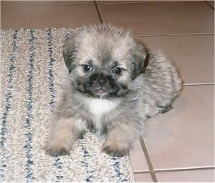 This is going to be my first dog!!! I always wanted a shitzu and a pug....why not a pug-zu!!!