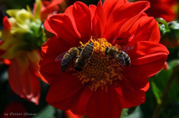 Dahlia and bees
