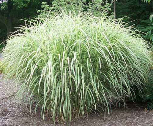 Miscanthus variegated japanese silver grass mis kan thus for Ornamental grasses for planters