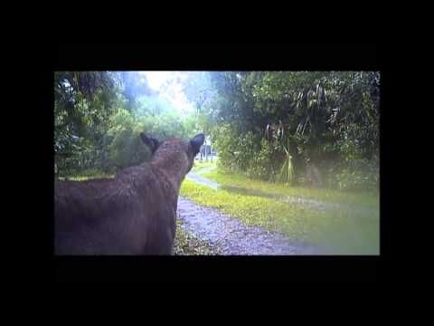 Florida Panthers in the Wild (Raw Video) - YouTube
