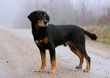 Smaland Hound | Origin: Sweden