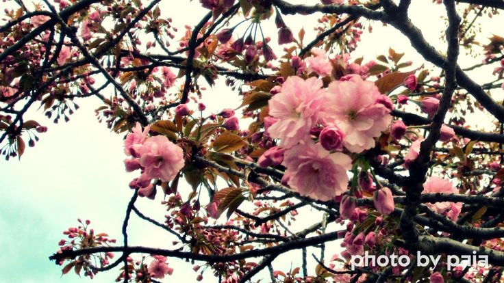 Cherry Blossom in Praha, Vršovice, more on https://www.facebook.com/ukazkovydomov.cz