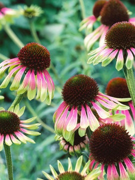 15 best images about echinacea on pinterest gardens in. Black Bedroom Furniture Sets. Home Design Ideas