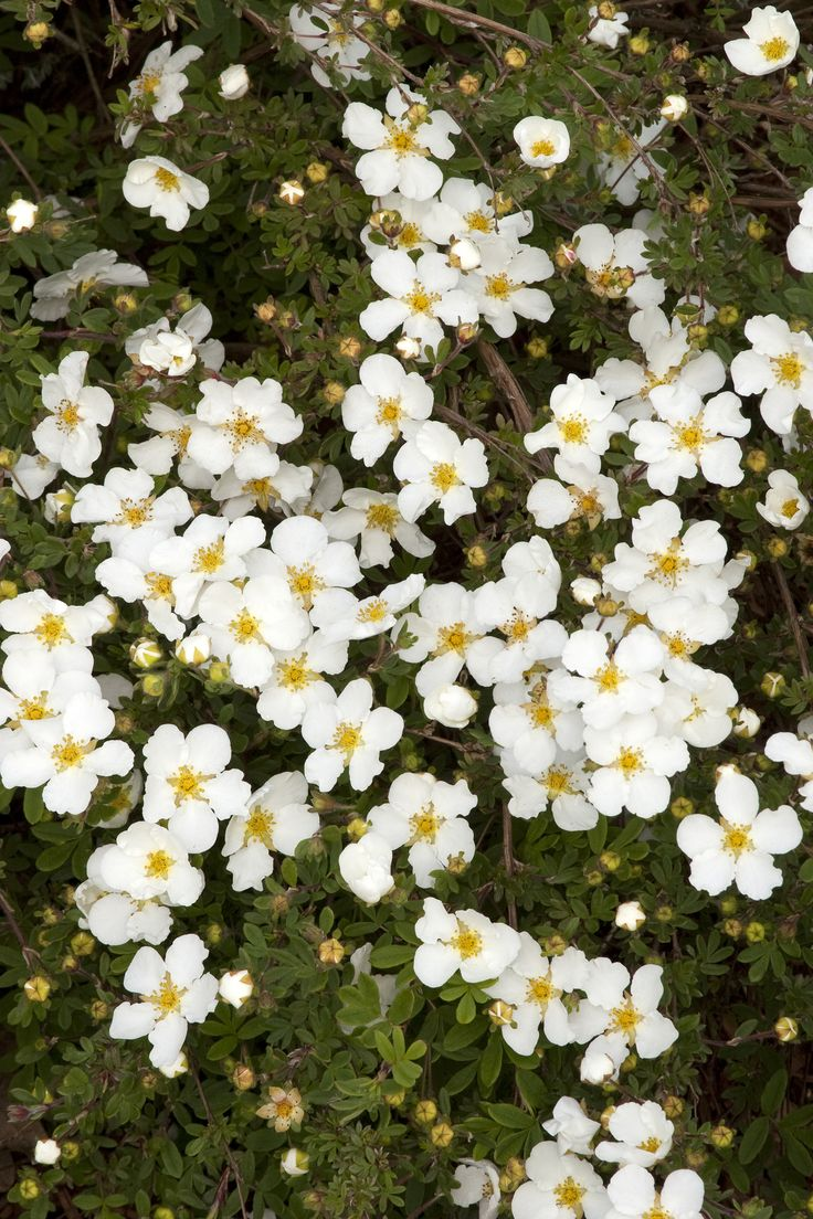 67 best images about summer flowering shrubs for colorado for White flowering bush