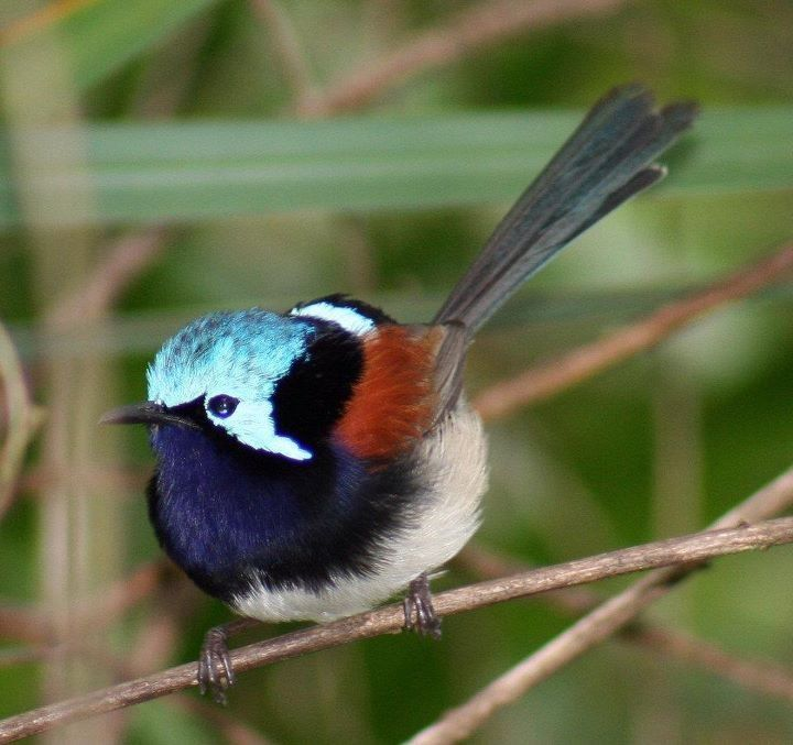 Red-winged Fairy-wren - The southwestern edge of Western Australia is the native land to this lazy bird.