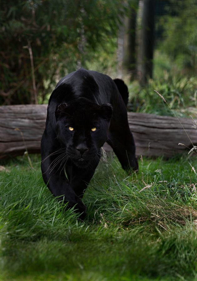 "One of God's Amazing beautiful Big Cats! ""A black panther is typically a melanistic color variant of any of several species of larger cat. In Latin America, wild 'black panthers' may be black jaguars. In Asia and Africa, black leopards, in Asia, possibly the very rare black tigers and in North America they may be black jaguars or possibly black cougars.  Captive black panthers may be black jaguars, or more commonly black leopards."""