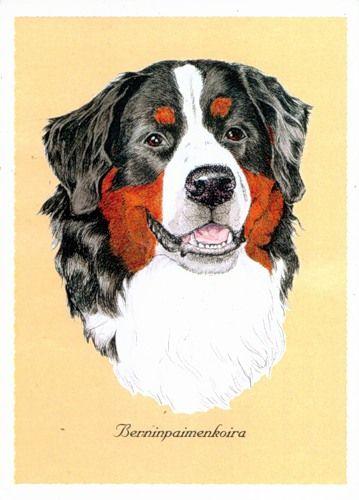 Картинки по запросу рисунок бернского зенненхунда