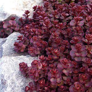 Sedum Dragon's Blood Seeds-Creeping Spread, Intensive Colour: Amazon.co.uk: Garden & Outdoors