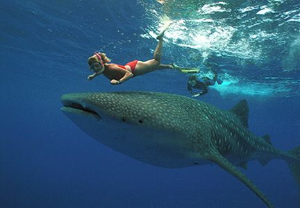Swim with Whale Sharks - they only eat plankton! Ningaloo Reef, Western Australia