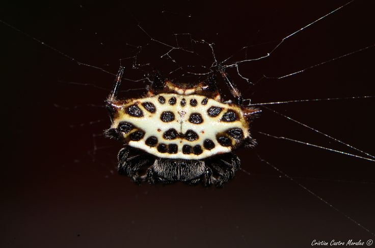 Gasteracantha sp. by Cristian Castro Morales on 500px