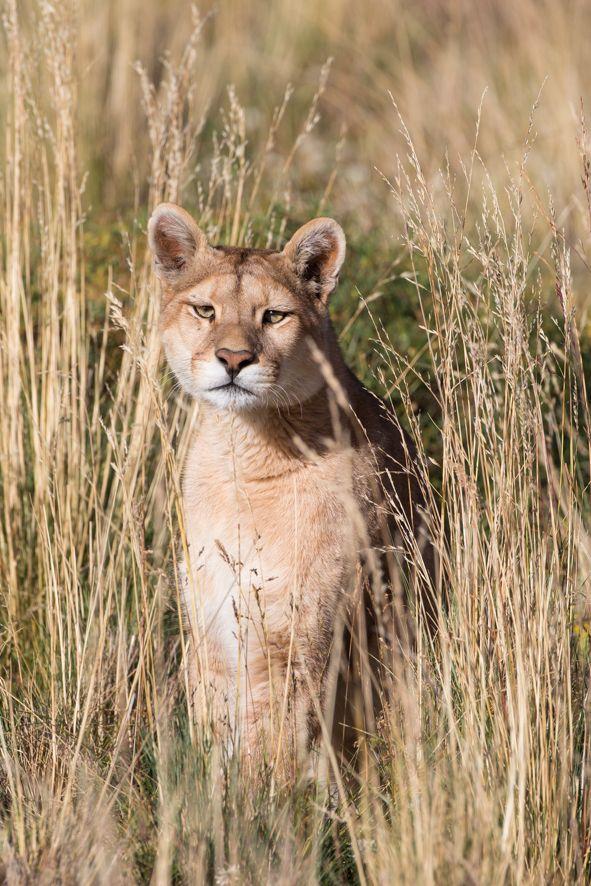 Puma - Chilean Patagonia