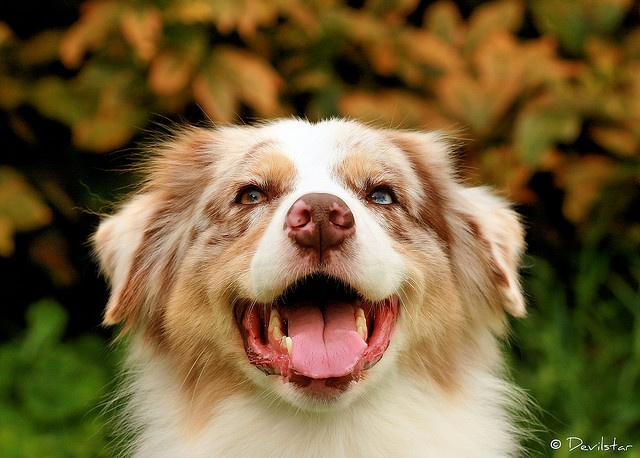 Ch. Roses and Dreams Ever After, Australian Shepherd, by Devilstar.