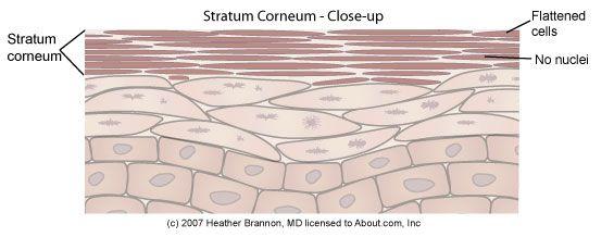 Epidermis Anatomy: Stratum Corneum - Close-Up