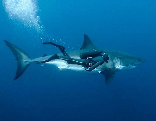Once feared now respected and protected. A diver swimming with Great White Shark off Guadalupe