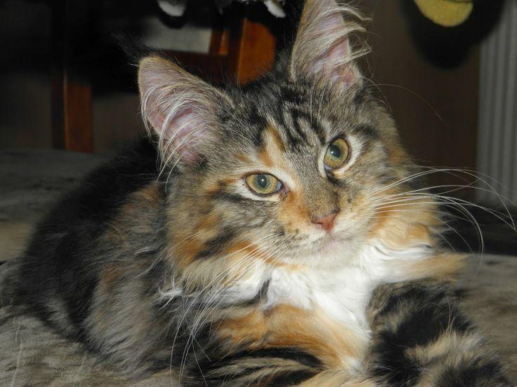 Maine Coon - Mainská mývalí kočka: Samantha