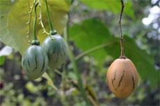 Tree Tomato Tamarillo: How To Grow A Tamarillo Tomato Tree