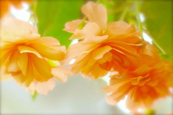 Скачать обои оранжевые, розы, размытость, раздел цветы в разрешении 2048x1365