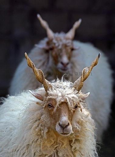 Hungarian Racka Sheep photographed (2009) by by Ahmad Al ameeri. via Flickr …