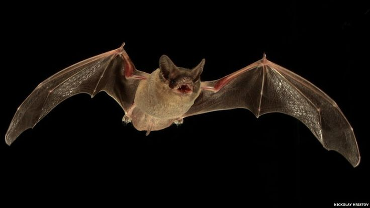 A flying Mexican free-tailed bat