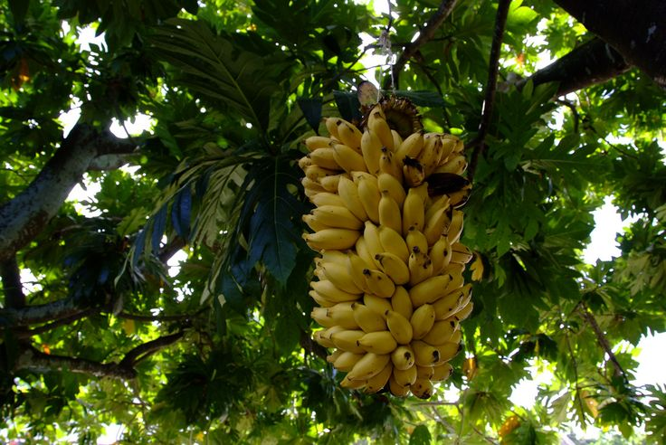 https://flic.kr/p/94YEFx | Tuvalu island Banana | A small banana is very sweet and delicious.