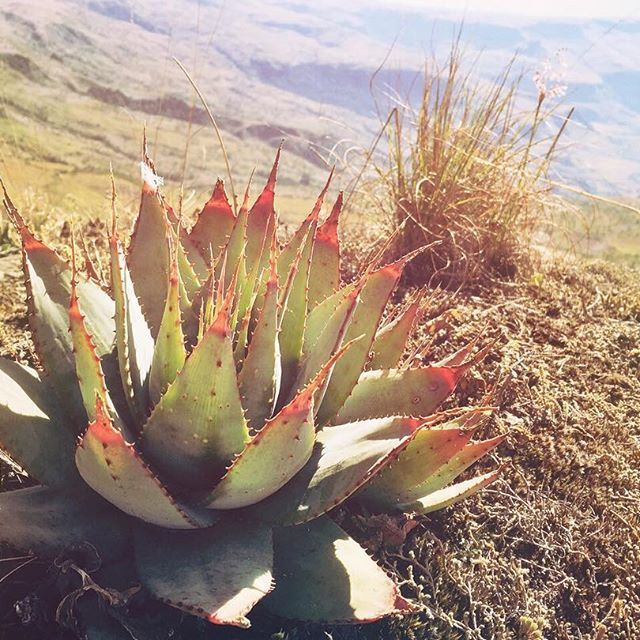 A cool aloe above a huge sandstone cliff at the top of the little berg on the way to Vaalribbokkop Cave. Drakensberg, South Africa. #drakensberg #mountains #drakensbergadventures #drakensbergmountains #hiking #hikingadventure #monkscowl @mcsa_kzn #wanderlust #explore #nature #instanature #adventure #naturalbeauty #outdoors #outside #iphone #instagood #instapic #instalike #love #picoftheday #Africa #SouthAfrica #KZN #flowers #natureporn #plants