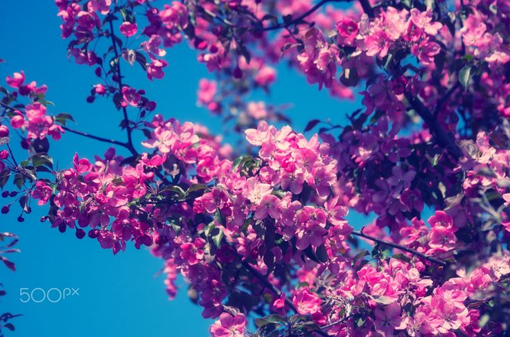"Pink Blossoming Flowers - Pink Blossoming Flowers Tree in Spring Garden. From ""Blossom"" photo collection."