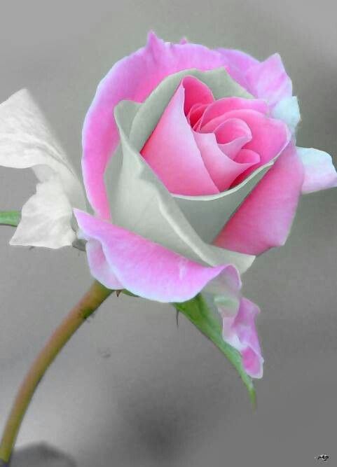 Beautiful rose - I wonder if the layers of white turned pink like the rest of the bloom or vice versa.