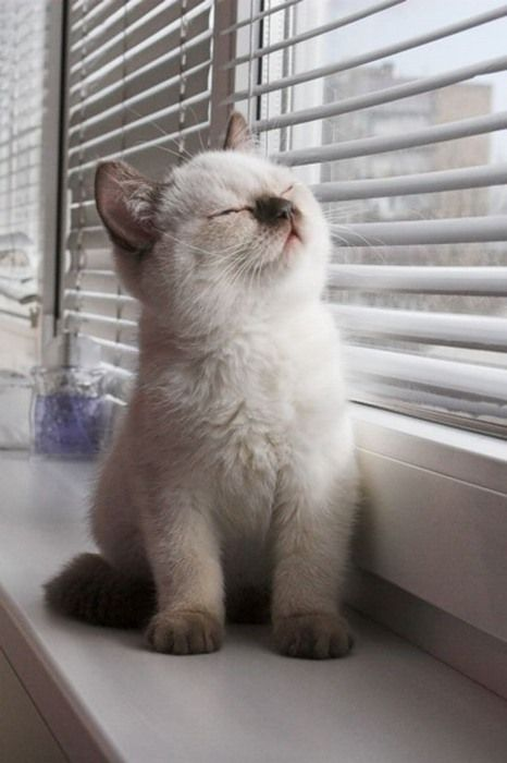 Just soaking up that sunshineKitty Cat, Siamese Kittens, Sweets, Cute Cat, Pets, Ragdoll Kittens, Baby Kittens, Baby Animal, Sun