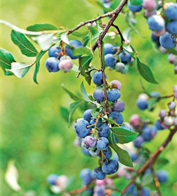 Blueberries - Plant at least two varieties for cross-pollination. The most commonly grown blueberry is highbush. Lowbush blueberries grow just 1 foot tall and spread by underground stems to form a dense mat.