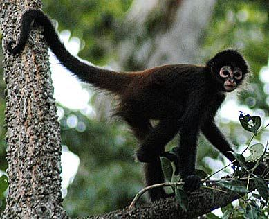 The spider monkey is just that - spidery. Mostly dark brown and black all over they have long tails, spindly legs, little pot bellies, little heads, long hands and bare faces. They make their way through the jungle swinging acrobatically with their gangly long arms.