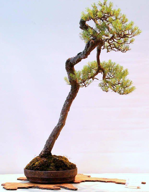 D ng c y v n nh n phong tranh bunjin literati style for Literati bonsai gallery