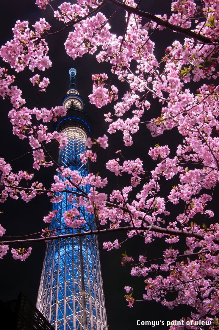 Tokyo Sakura Night, Japan   Matsuoka Comyu 東京スカイツリー