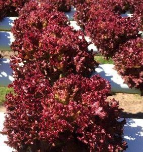 Jenis Sayuran Hidroponik Red-Oakleaf