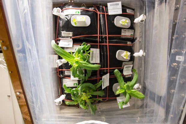 Nella piccola serra VEG-01 all'interno della navicella sono spuntate le foglie verdi di un piccolo giardinetto di zinnia.
