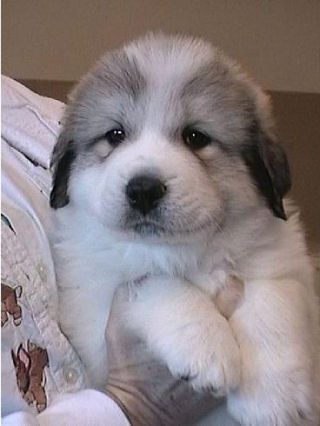 Great Pyrenees puppy, adorable.