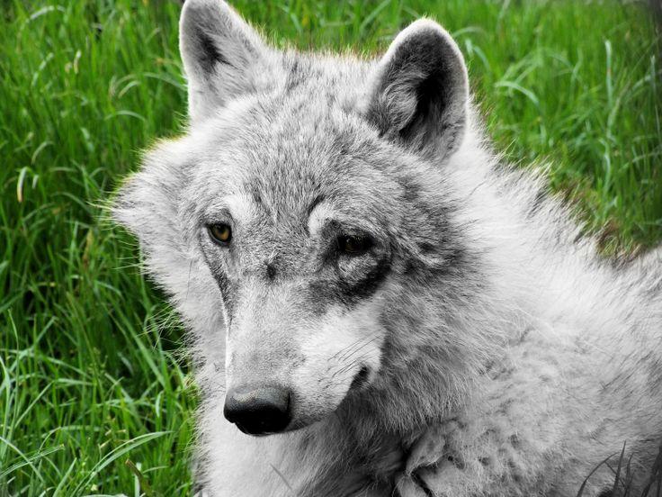een wolf met een kromme neus. Gemaakt op landgoed hoenderdaell