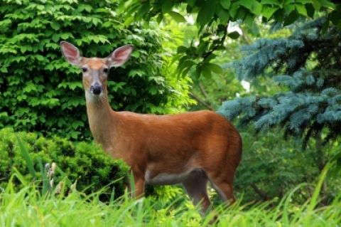 Tips for keeping deer out of gardens and flower beds. Includes a list of plants that deter deer.