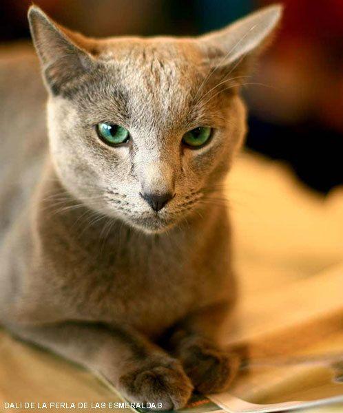 CATS-форум :: Просмотр темы - РУССКИЕ ГОЛУБЫЕ кошки (часть 7)