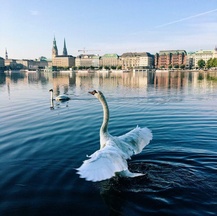 ☞ 11 Dinge, die kaum jemand über Hamburgs legendäre Alsterschwäne weiß! #Schwan #Schwäne #Alster #swan