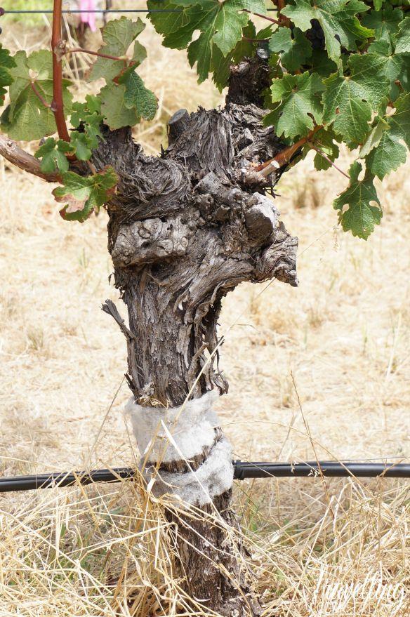 Vine at Voyager Estate in the Margaret River