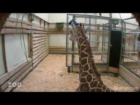 Baby Giraffe in the Zoo's Barn. Raw Dropcam Footage  If the baby giraffe isn't on the cam, you can also watch this video of highlights (not live):