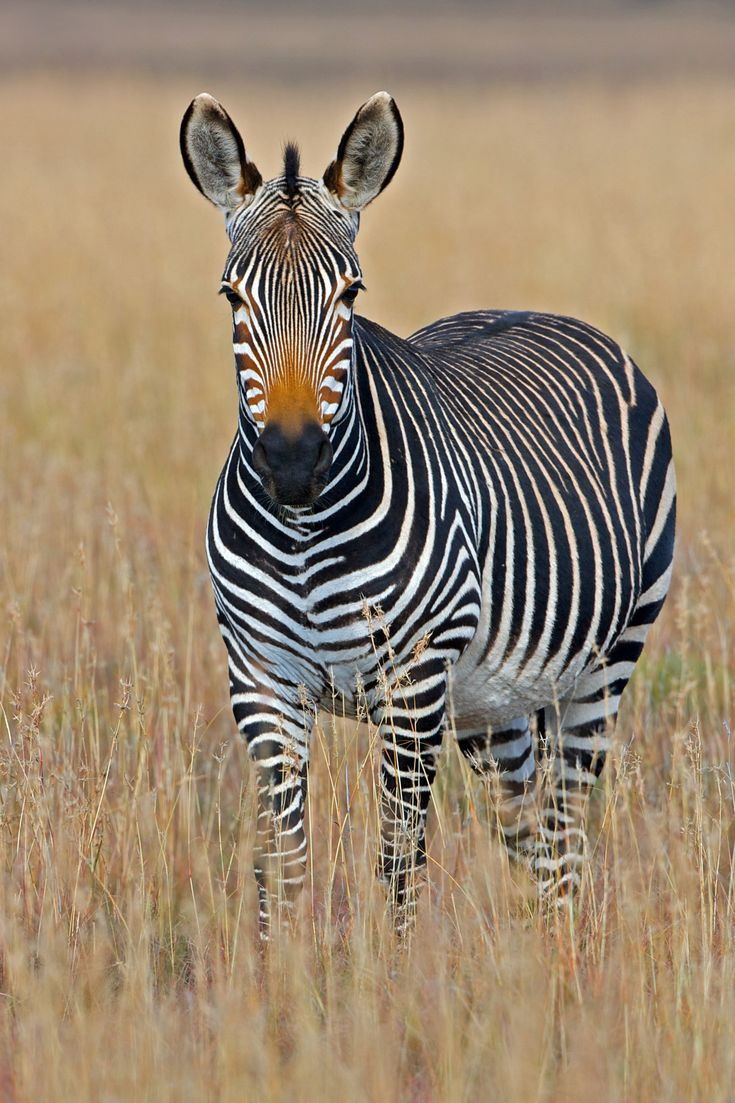 Did you know that zebras aren't just black and white?At