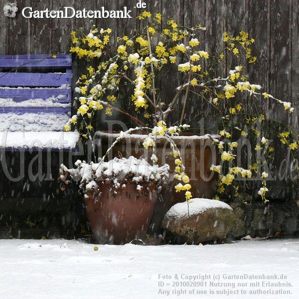 Winterjasmin Jasminum nudiflorum Im Topf als Kübelpflanze bei Schnee mitten im Winter, hier Ende Dezember.