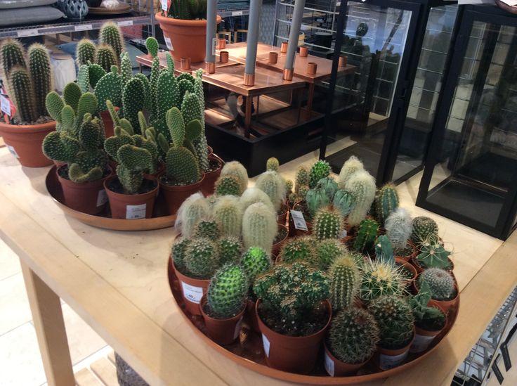 Kaktus fra kun 15,-.