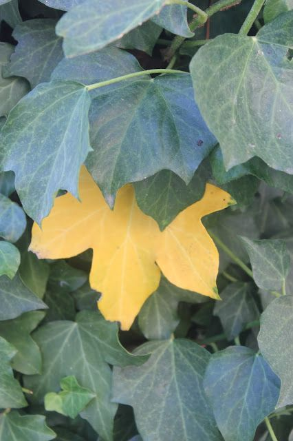 Golden ivy leaf may be due to heat stress