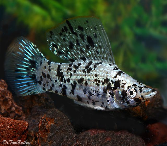 1000 images about freshwater life on pinterest cichlids for Molly fish for sale