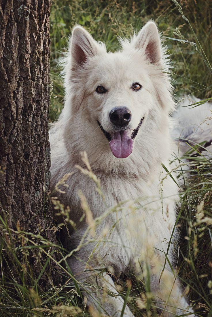 Neeko - German Shepherd, Alaskan Malamute mix