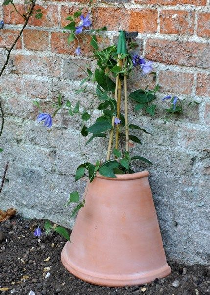 Clematis tip.. create a cool area for roots by using a half pot as protection