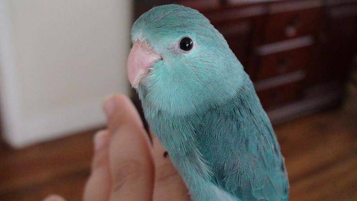 48 Best Parrotlets Images On Pinterest Animals Parrots