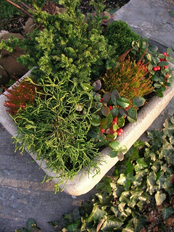winter garden containers mini conifers for texture